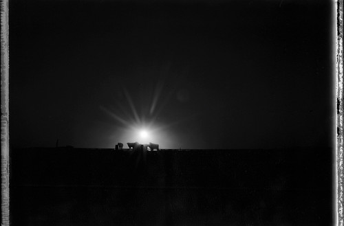 sunset film polaroid cows backlit expiredfilm polaroid665 polaroid110a