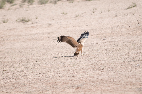 Tawny eagle | by Jeppestown