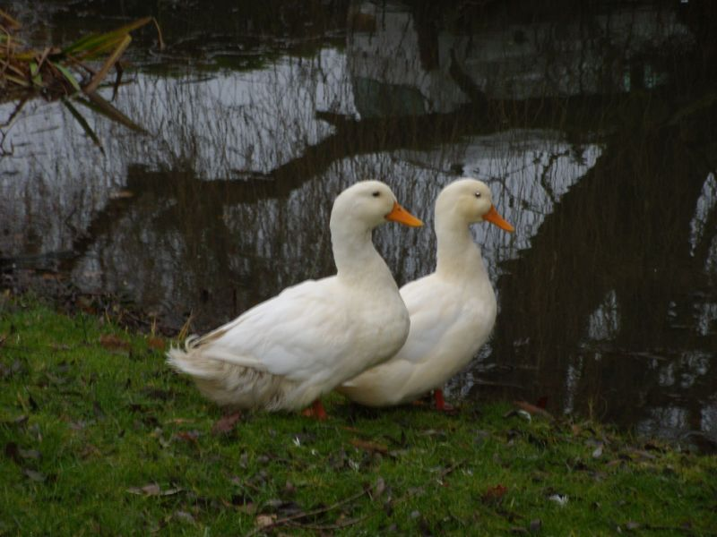 Two ducks Kelvedon circular
