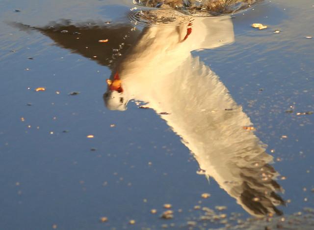 Reflected Gull