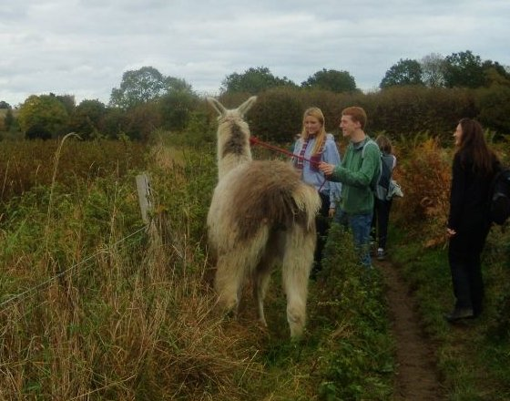 Llama out for a walk There were several more further ahead . But the pics were too blurred. Milford to Godalming