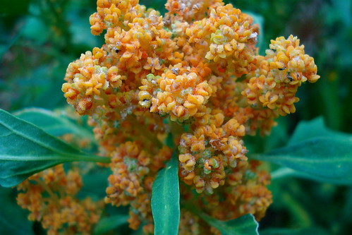 Quinoa flowering   by allispossible.org.uk