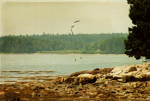 sea water seagull maine