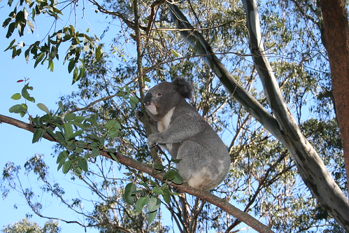 Koalas | by Big Blue Ocean