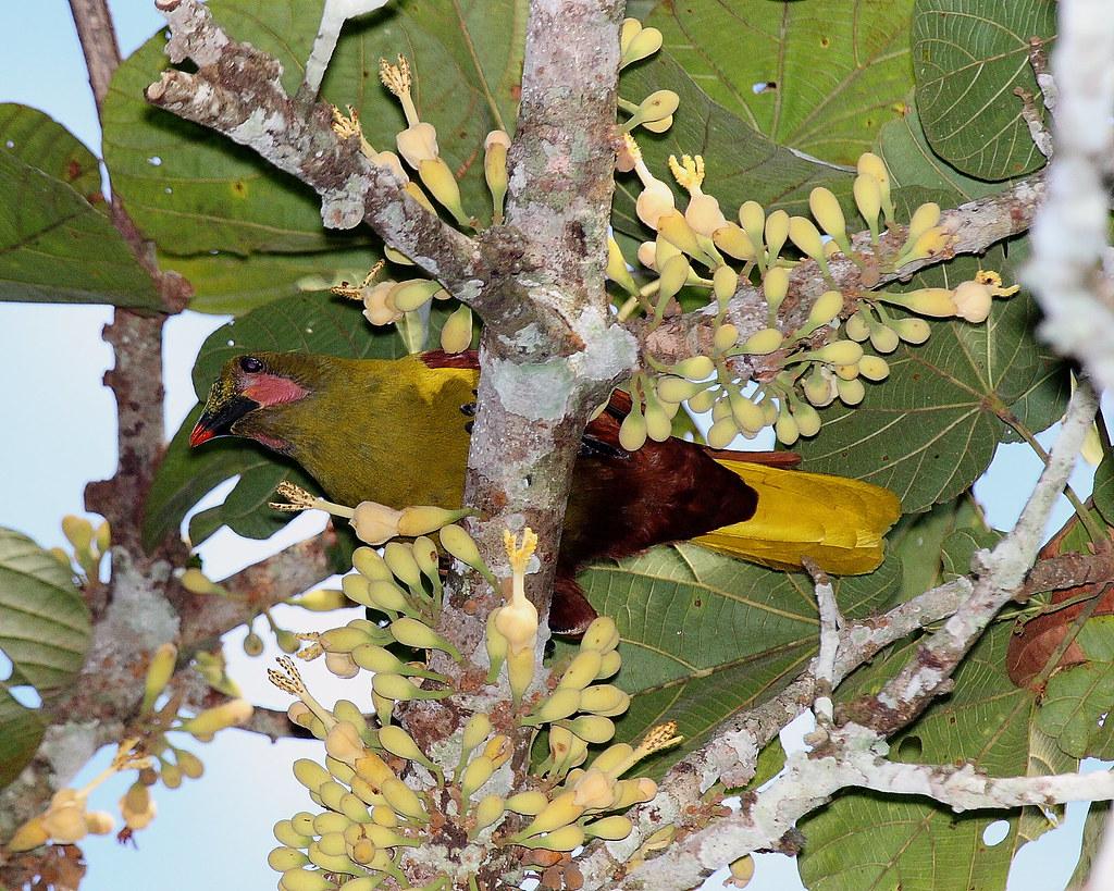 IMG_7707 Amazonian(Olive)oropendola