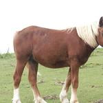 隠岐の馬 kohmura38147