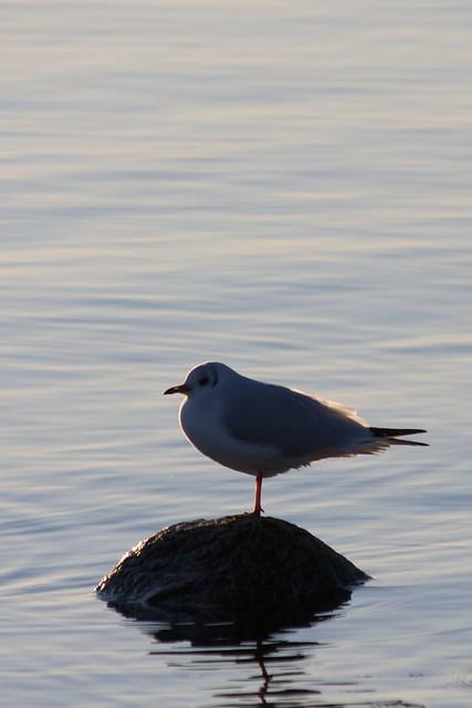 One gull