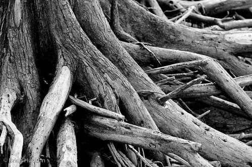 Cypress Roots B&W | by Brian Hudson