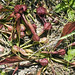 Parrot Pitcher Plant - Photo (c) NC Orchid, some rights reserved (CC BY-NC)