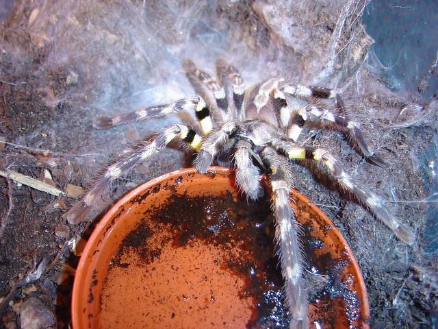 Indian ornamental tarantula (Poecilotheria regalis) male   Flickr