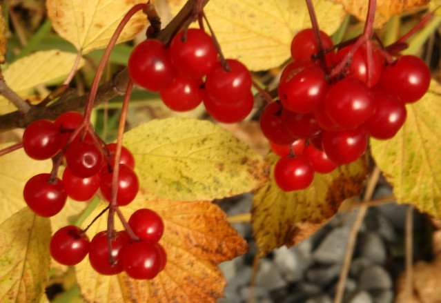 I think there are bush cranberries