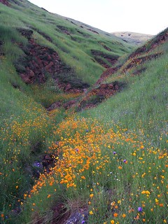 Fresno County Wildflowers 2-05-2006 | by SierraSunrise