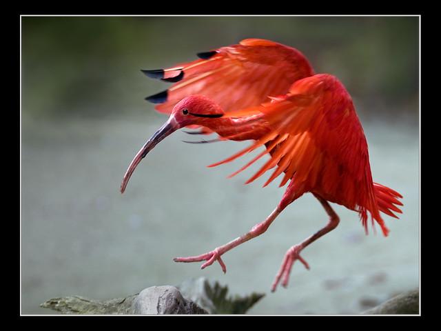 Red Scarlet Ibis' Landing