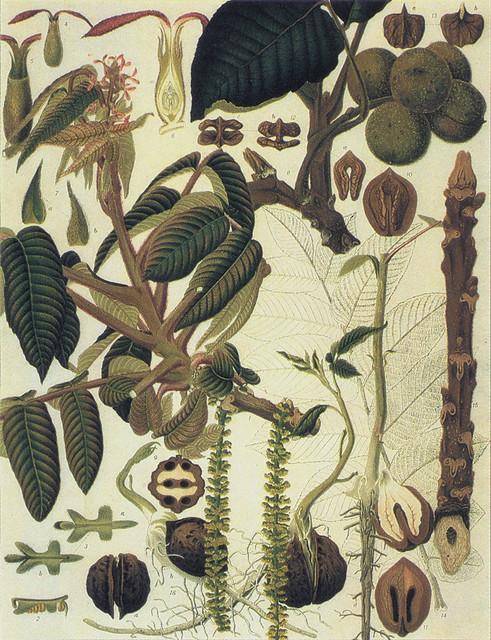 須崎忠助「オニグルミ Juglans ailanthifolia Carr」
