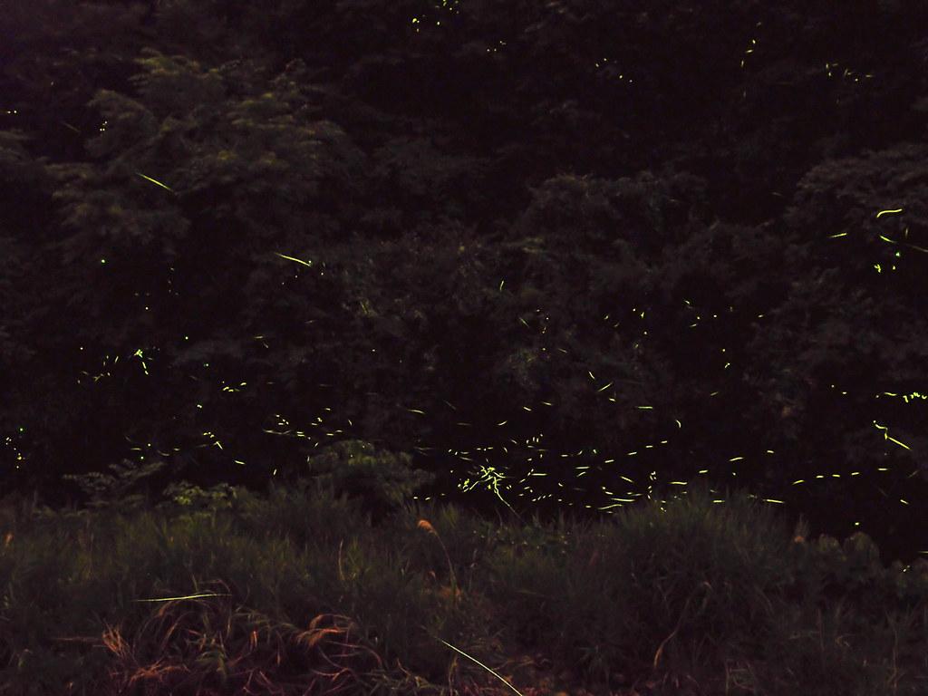 川浦川の蛍 fireflies in kawaur...