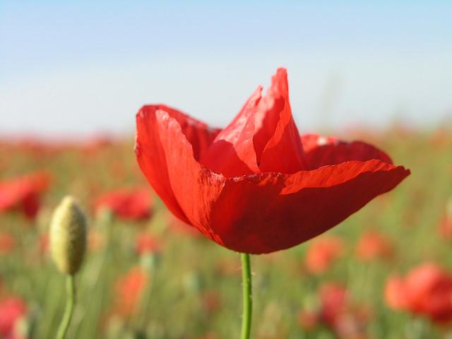 Red poppy macro 3