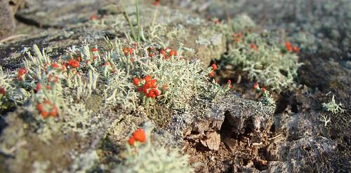 red macro rojo southcarolina stump lichen liquen pickenscounty britishsoldiers cladoniacristatella a1f1 mutualism