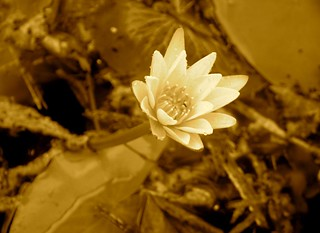 Elegant Water Lily in Sepia | by vladeb