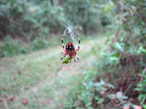 Hanging Spider Pettigrew SP 8252