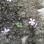 Oxalis sp. - Cordilerra del Tunari, Bolivia