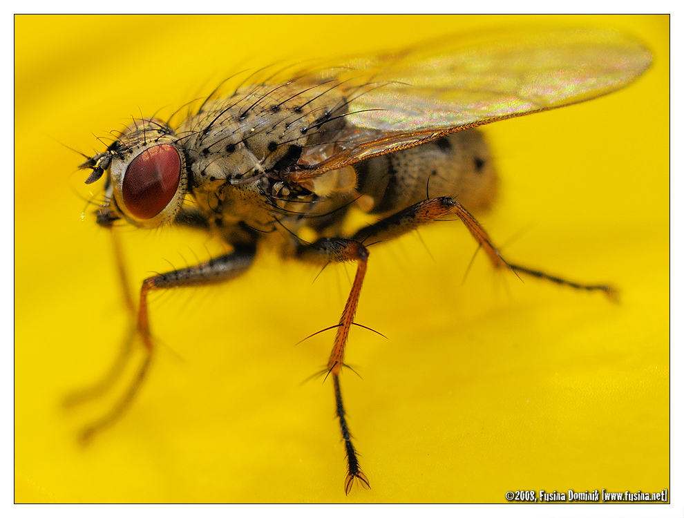 Fly - Mouche