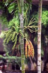 Taman Mini - Fruiting Palm   by jrozwado