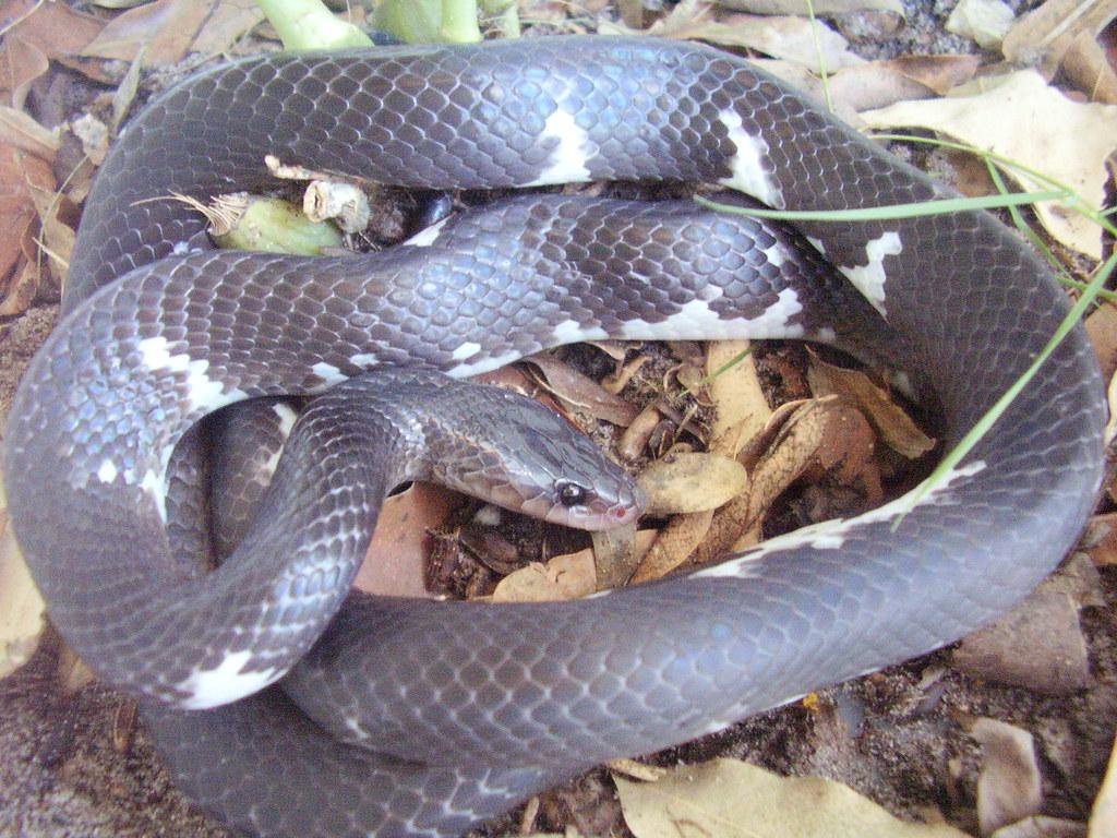 Cobra-preta