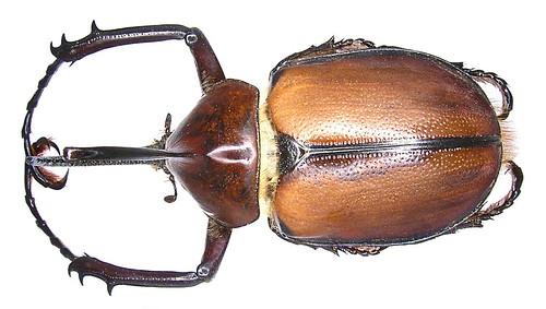 Golofa aegon (Drury, 1773) male | by urjsa