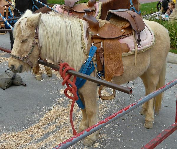 cream colored pony