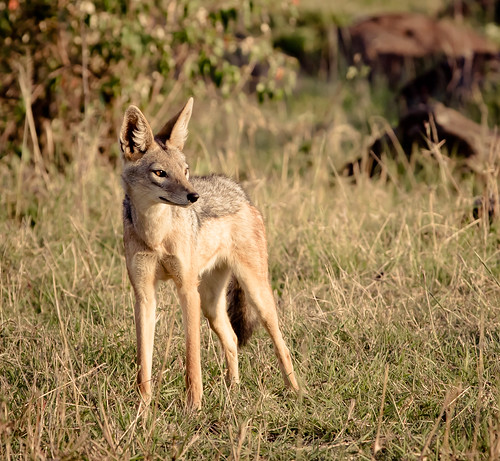 Jackal, Evening Light | by The.Rohit