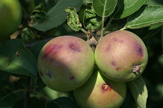 Hail injury to apple fruit showing cuts and bruises about one week after hail event. Photo courtesy of Alan R. Biggs, West Virginia University. | by Alan Biggs