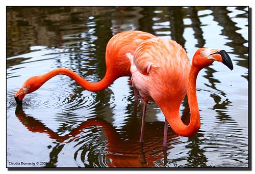 lake florida flamingo davie botanicalgarden caribbeanflamingo wildlifesanctuary naturesfinest wadingbird blueribbonwinner parkstock supershot flamingogardens flamingoisland familyphoenicopteridae genusphoenicopterus canonef70200mmf4lisusm anawesomeshot aplusphoto browardco speciesphoenicopterusruber
