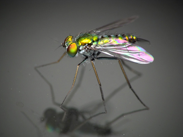 Dolichopodid fly