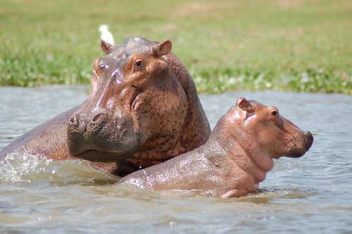 wildlife mother hippo uganda calf murchisonfalls nichargregory