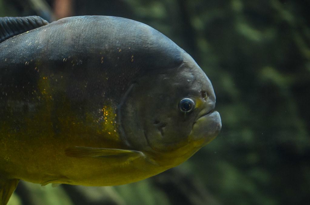 São Francisco Piranha