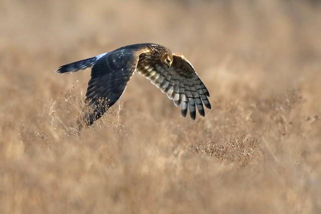 Female Hen Harrier (Circus cyaneus)