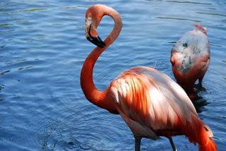 Pink Flamingo at Sedgwick County Zoo