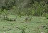 Andean Tinamou by hogsas