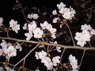cherry blossoms_3   by tsunma1