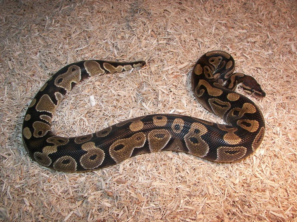 ball python substrate