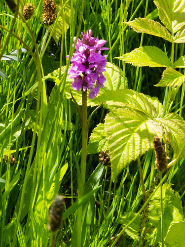 Pyramid Orchid by Dudley No 1 canal