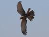African Marsh Harrier, Lake Chilwa (Malawi), 15-May-11 by Dave Appleton