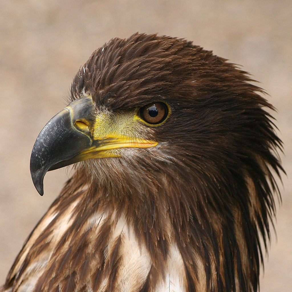 Bird Of Prey An Eagle Seen Near Kidderminster England John Dalkin Flickr
