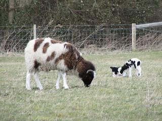 Lambs6