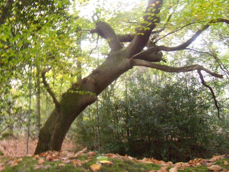 Striking tree Milford to Godalming