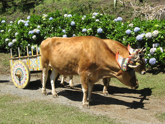 Traditional Ox & cart