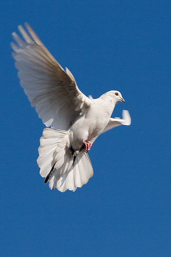 Pigeon Flying 003   by Jehanzeb Khan