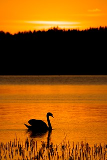 Swan in the sunset 2