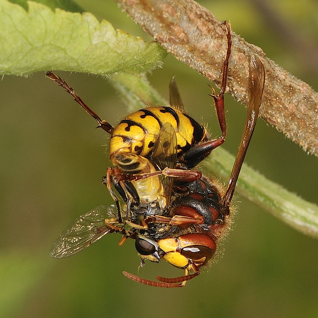 Hornet dismembering a hoverfly
