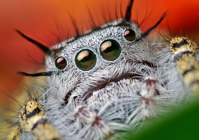 Adult Female Phidippus mystaceus Jumping Spider